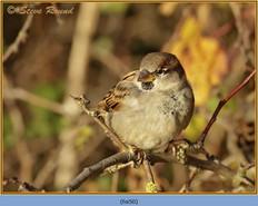 house-sparrow-50.jpg