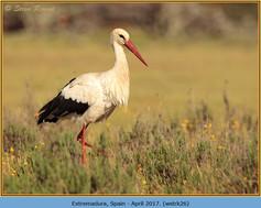 white-stork-26.jpg