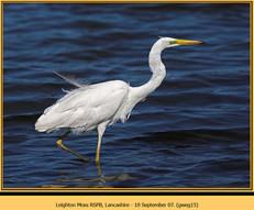 great-white-egret-15.jpg