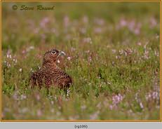 red-grouse-109.jpg