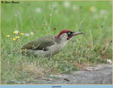 green-woodpecker-34.jpg