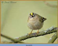 goldcrest-44.jpg