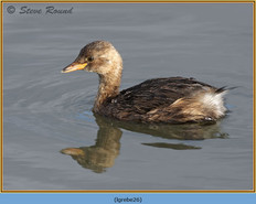 little-grebe-26.jpg