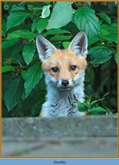 fox-90.jpg