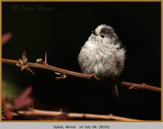 long-tailed-tit-36.jpg