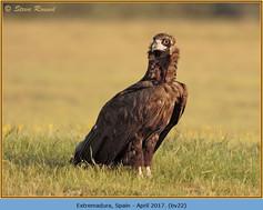 black-vulture-22.jpg
