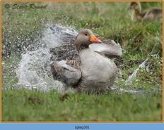 greylag-goose-30.jpg