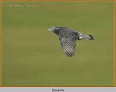 feral-pigeon-05.jpg