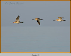 bar-tailed-godwit-09.jpg