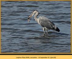 grey-heron-28.jpg