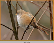 bearded-tit-03c.jpg