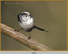 long-tailed-tit-69.jpg