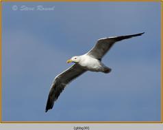 gt-b-backed-gull-30.jpg