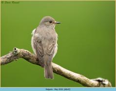 spotted-flycatcher-42.jpg