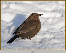 blackbird-74.jpg