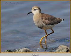 white-tailed-lapwing-28.jpg