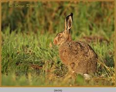 brown-hare-59.jpg