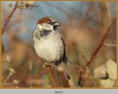 house-sparrow-37.jpg
