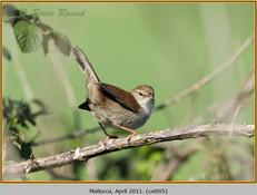 cettis-warbler-05.jpg