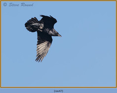 raven-47.jpg
