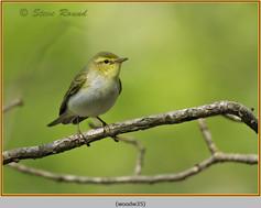 wood-warbler-35.jpg