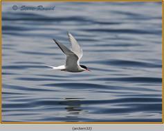 arctic-tern-32.jpg