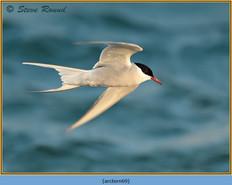 arctic-tern-69.jpg
