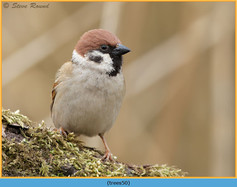 tree-sparrow-50.jpg