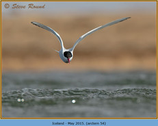 arctic-tern-54.jpg