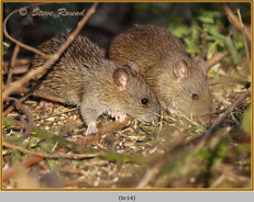 brown-rat-14.jpg