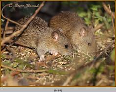 brown-rat-14.jpg