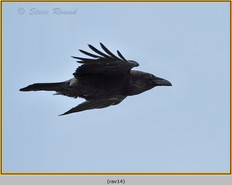 raven-14.jpg