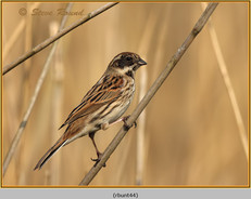 reed-bunting-44.jpg