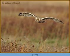 short-eared-owl-66.jpg