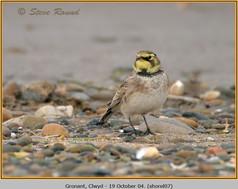 shore-lark-07.jpg