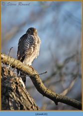 sparrowhawk-10.jpg