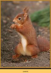 red-squirrel-10.jpg