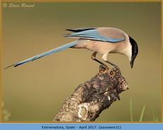 azure-winged-magpie-31.jpg