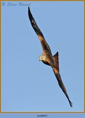 red-kite-87.jpg