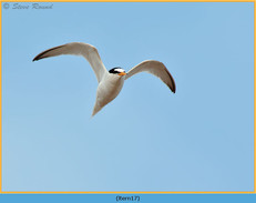 little-tern-17.jpg