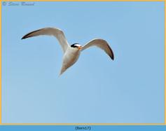 little-tern-17.jpg