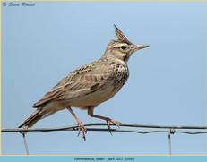 crested-lark-10.jpg