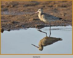 bar-tailed-godwit-12.jpg