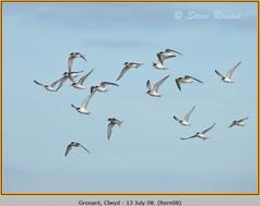 little-tern-08.jpg