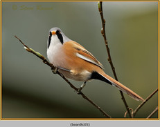 bearded-tit-05c.jpg