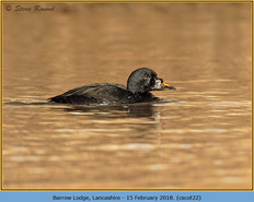 common-scoter-22.jpg