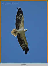 white-bellied-sea-eagle-02.jpg