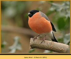 bullfinch-31.jpg
