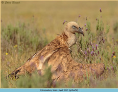 griffon-vulture-58.jpg