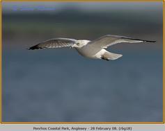 ring-billed-gull-18.jpg